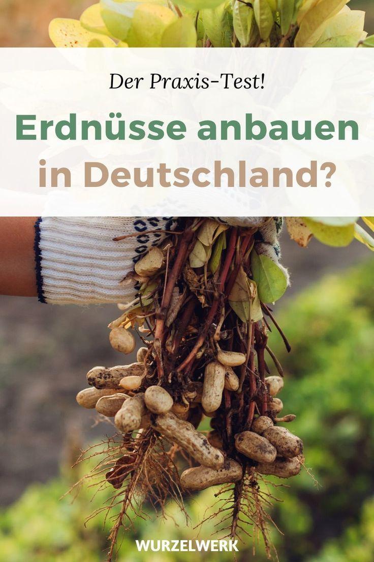Erdnuss Pflanzen Selber Ziehen Erdnusse In Deutschland Anbauen Wurzelwerk In 2020 Pflanzen Erdnusse Pflanzen Pflanzen Vermehrung