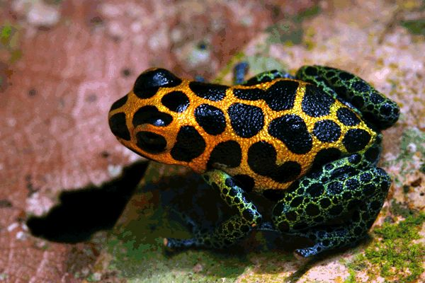 Ranitomeya imitator, the mimic poison dart frog, is the first amphibian ever proven to be completely monogamous.