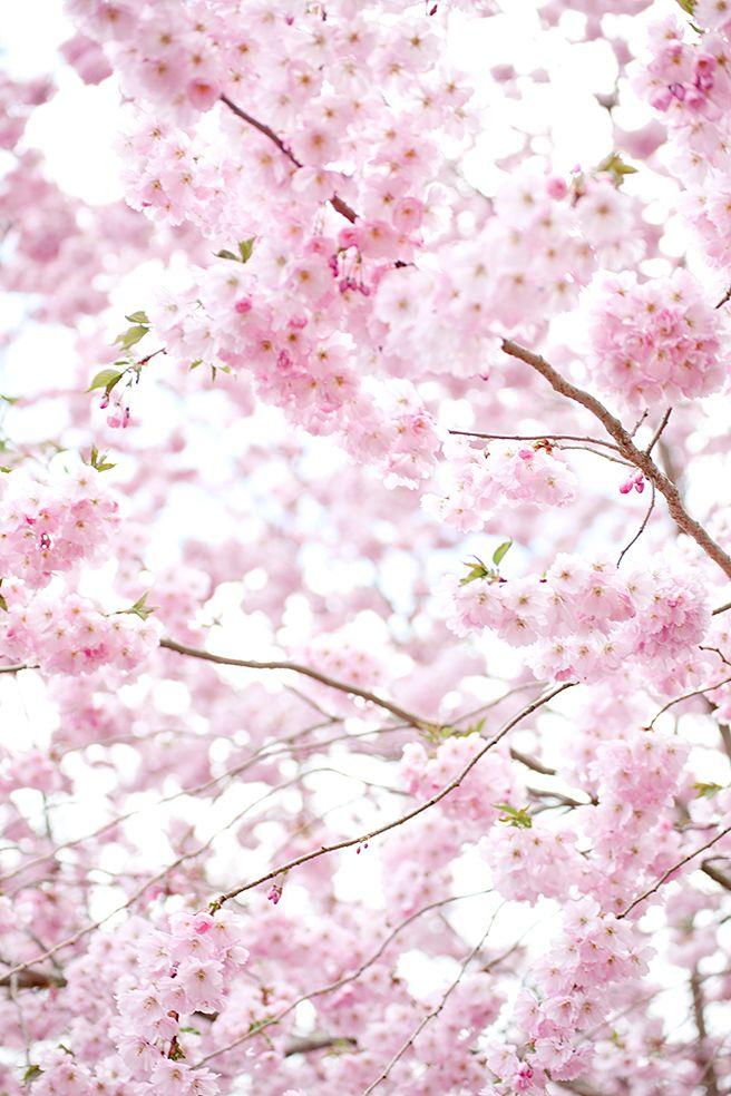 Japanskt körsbärsträd. Inget lockar fram så mycket vårkänslor som körsbärsblommorna #spring #cherryblossom