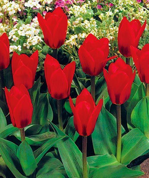 """Botanické tulipány ´Showwinner´. Těmto tulipánům se někdy říká """"leknínový tulipán"""". Jeho květy se totiž za slunečných dnů široce rozevírají tak, že připomínají květy leknínů. Stanoviště:plné slunce, doba kvetení: březen - květen, výška:asi 25 cm, k řezu."""