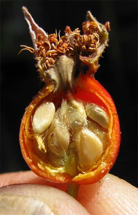 Rose Hips and seeds... remove the seeds before preparing any of the Rose Hip recipes or remedies.