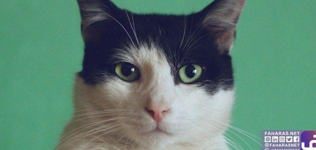 سرطان الغدد الليمفاوية عند القطط Cats Animals Lymphoma