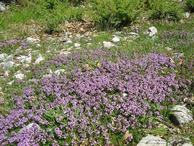 Αγριοθύμαρο (Thymus serpyllum)
