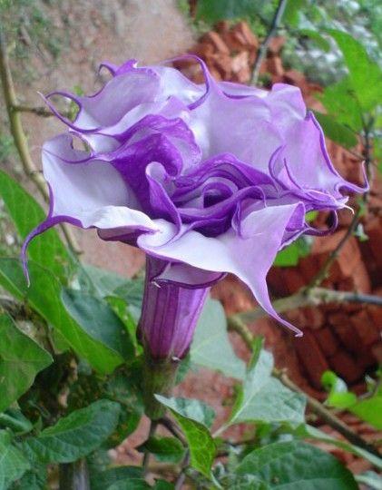 Datura purple queen double. Planta de la familia de las solanáceas conocida como Trompeta de ángel, nombre que comparte con el género Brugmansia con el cual está estrechamente emparentado. Tiene hermosas flores de color púrpura metálico durante todo el verano y se desarrolla en poco tiempo transformándose en un prolijo arbusto. Esta planta es natural del sur de China y de la India pero se utiliza como planta ornamental en jardines y huertos de Norteamérica. ...