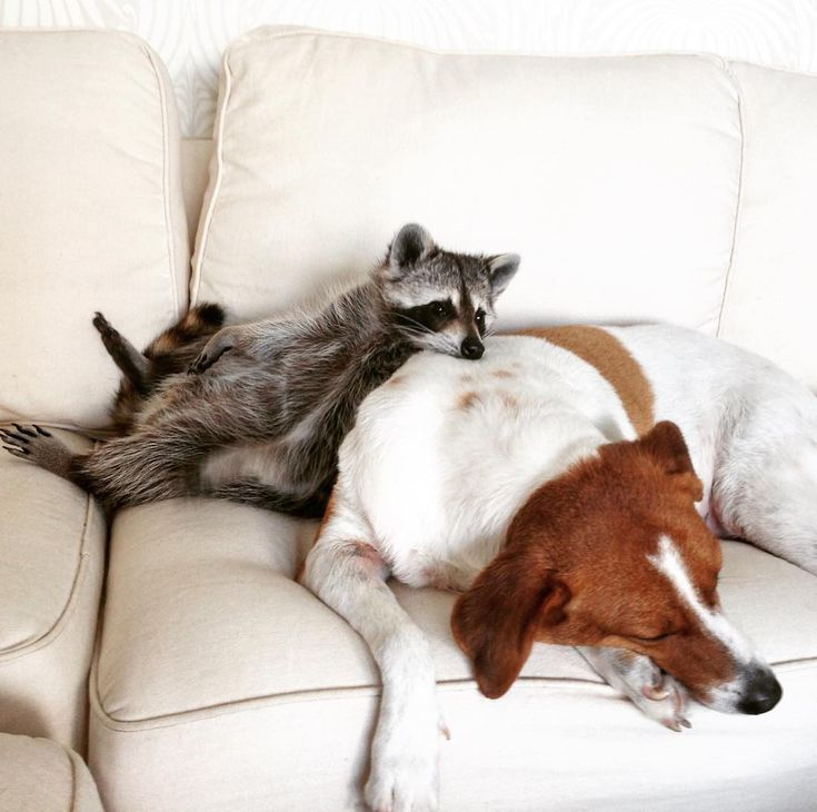 Rescued raccoon bonds with dogs and thinks she is one of them -- click through for the best series of photos ever