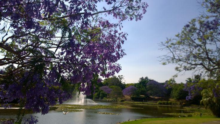 UQ Jacarandas flowering around the lake 2014