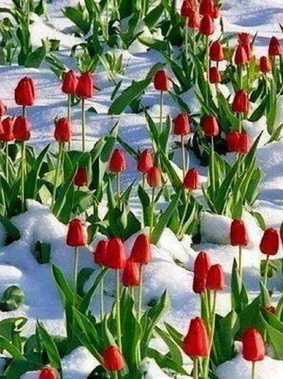 Tulips growing in the snow.