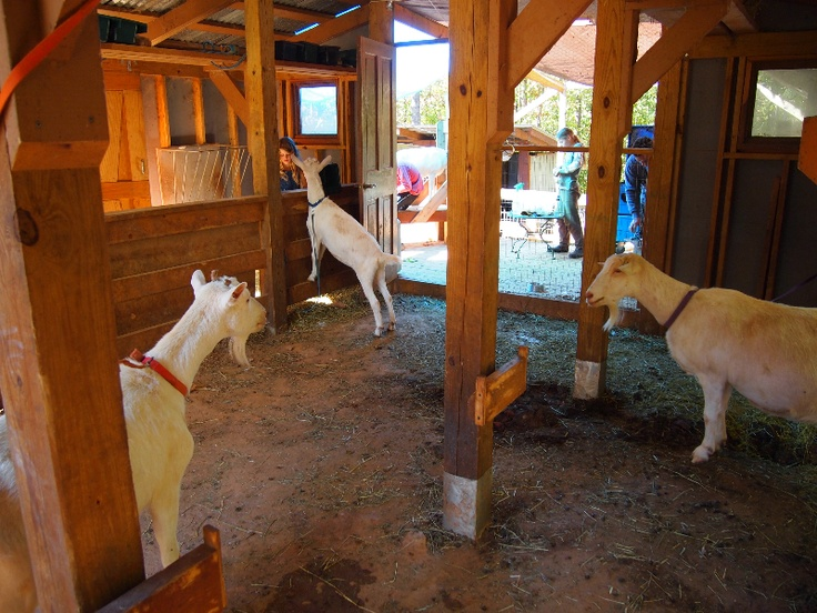 Inside Open Goat Barn http//www.fathersbountyhomestead