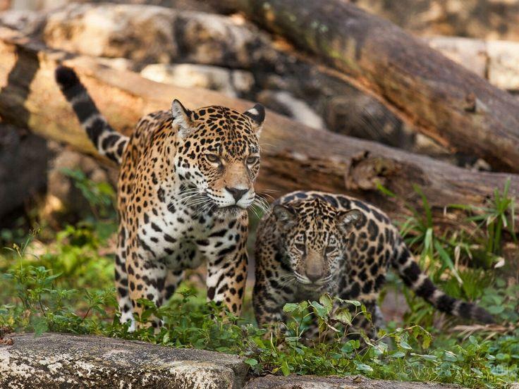 Phanère & Jaguar