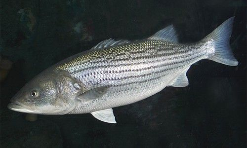 Striped Bass (Rockfish) - one of the most popular and important sport fish in the Chesapeake Bay