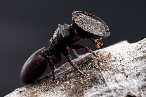 Esta hormiga de enorme cabeza es conocida como hormiga tortuga (Cephalotes varians). La curiosa forma plana de su cabeza le sirve como puerta.