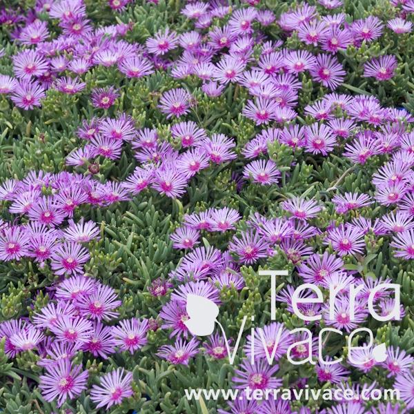 Delosperma cooperi vivace tr s florif re qui poss de un feuillage en forme de queue de souris - Phlox vivace couvre sol ...