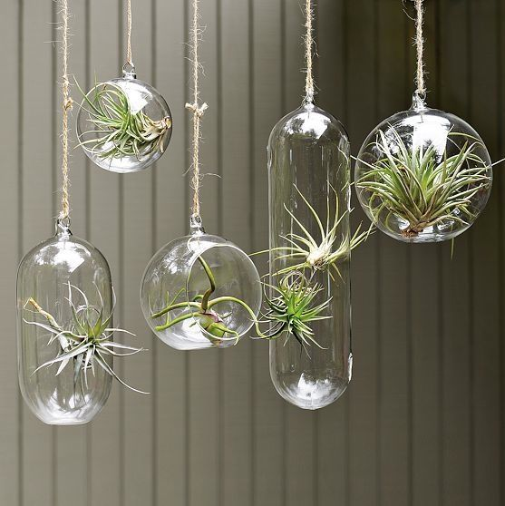 Air plants. These things are so cool, they don't need soil because they absorb all of their nutrients from the air through their leaves. I definitely need to get some of these :)