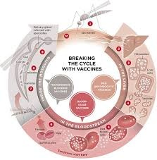 malaria breaking the cycle with vaccines