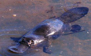 I want to travel to Queensland Australia to see and pet a platypus :)