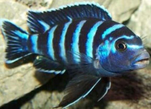 1000 Ideas About Malawi Aquarium On Pinterest