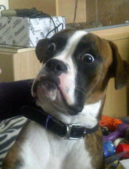 Yer, shittin' me?: The Doors, Funny Dogs, Boxers Dogs, Dogs Memes, Funny Stuff, Funnies, Funnydogs, Dogs Faces, Animal