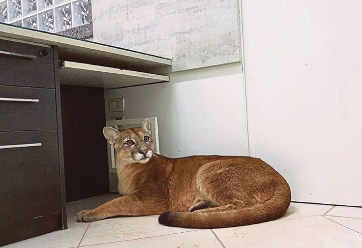 Staff at a factory in Itapecerica da Serra, a small town near Brazil's biggest city Sao Paulo, called in the local fire service after discovering a dark brown puma on the office floor.