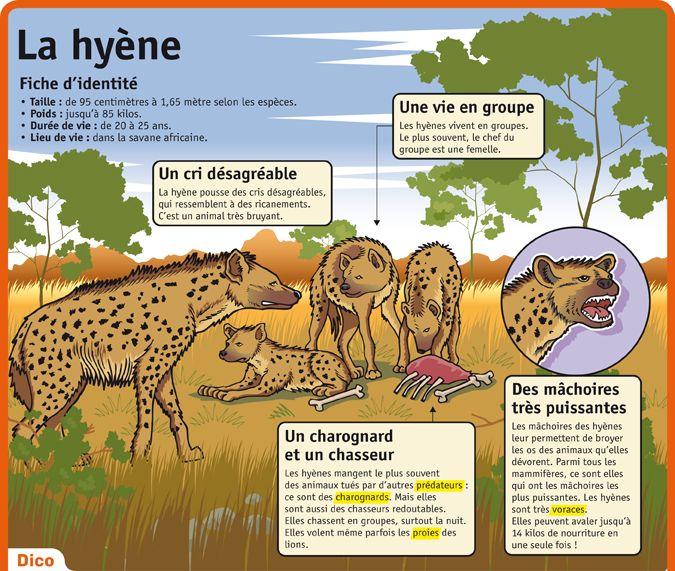 Fiche exposés : La hyène - Le Petit Quotidien