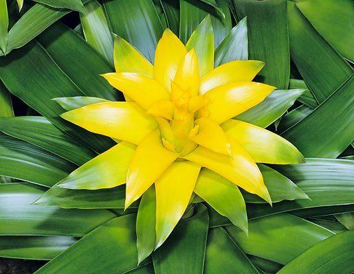 Dr. Giuseppe MAZZA Journalist - Scientific photographer > Guzmania ...