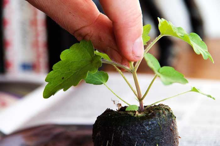 Jeg bruker fingrene når jeg skal knipe av toppskuddet på en liten plante