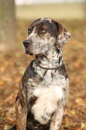 Portrait of beautiful Louisiana Catahoula dog in Autumn Stock Photo - 18804429