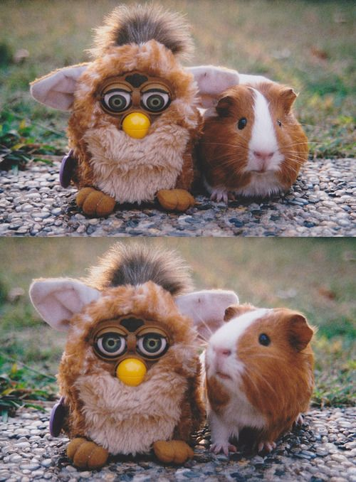 are we related? #cute #guinea pig