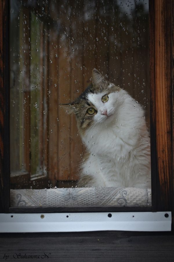 How come all cat photos involving rain, the cat is inside, looking out. My conclusion is that cats don't care for rain in their face! Which is fine with me,  I still love kitties..