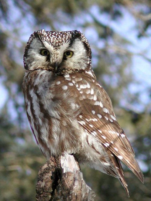 Boreal owl Credit: copyright Ann Cook [These owls] often sit on perches, listening for any scurrying rodents below. Then they dive down to capture a meaty meal.