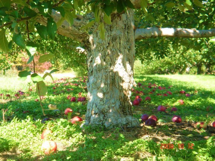 Autumn Apple Orchards, Ontario