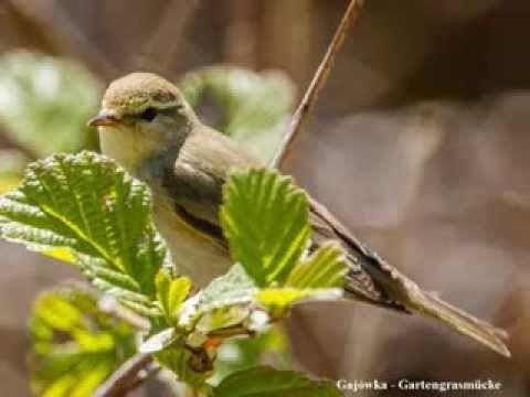 Ptaki Polski - Wiosenne Odgłosy Ptaków ; ``Zięba (Bergfink)``,``Dzwoniec...