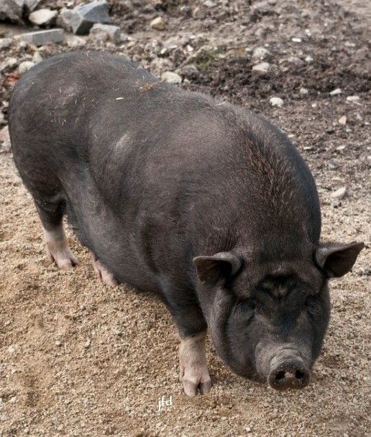 Heude's pig (Sus bucculentus), also known as the Indochinese