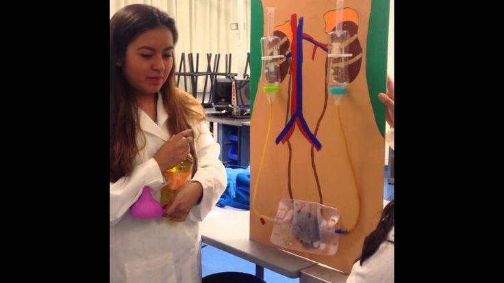 Resultado de imagen para maqueta de reciclaje sistema urinario