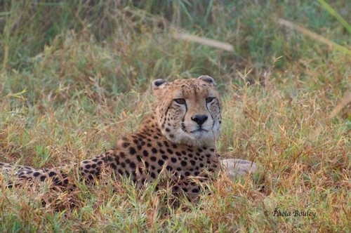 A beautiful cheetah at Gorongosa National Park, Mozambique. Photo by Paola Bouley.