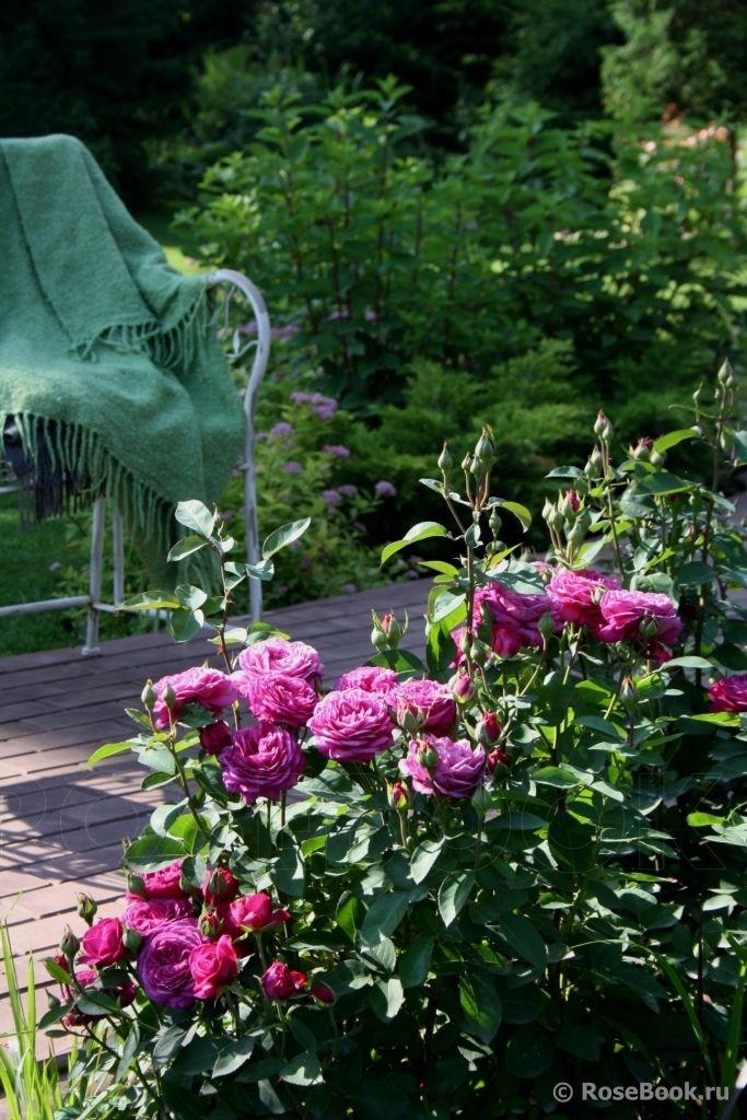 heidi klum rose roses in russian privet gardens pinterest. Black Bedroom Furniture Sets. Home Design Ideas