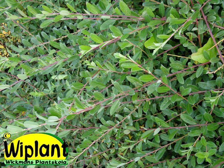 Salix repens 'Sakry', krypvide. Danskt utval med utbrett, krypande växtsätt. Gröna glatta små blad. Kan klippas tillbaka. 0,5 m.