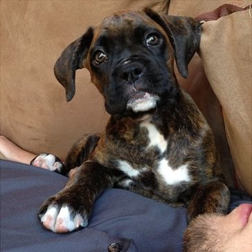 Most Inspiring Brindle Boxer Bow Adorable Dog - aa9ccafd2106e84b31c184346b8bcf48--boxer-puppies-cute-puppies  Trends_654443  .jpg