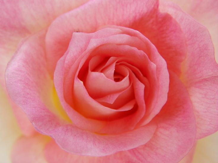 Lady Diana Rose Pretty Pinterest