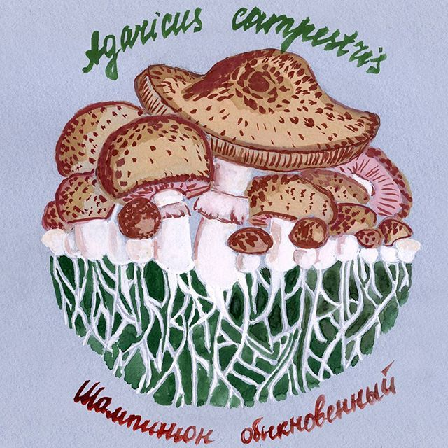 С грибами у меня довольно сложные отношения. Но шампиньоны я знаю в лицо, могу найти в лесу и очень люблю их как еду ))) #скетч #sketch #instaart  #drawing #sketching #color #гуашь #botanicalprint #botanicalillustration #гриб #грибы #грибочки #mushroom #mushrooms #шампиньоны #шампиньон #Agaricus #ботаника #природа #nature #inesskadanayaillustration