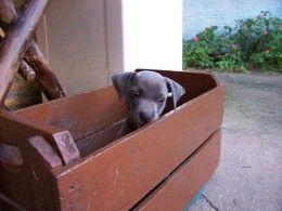 How to train a Labrador Retriever - Housebreaking and Potty training