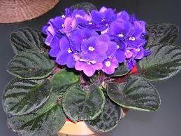 La violeta africana como su nombre indica es originaria de África y hoy en día se ha convertido en una planta de interior bastante común en nuestros hogares.