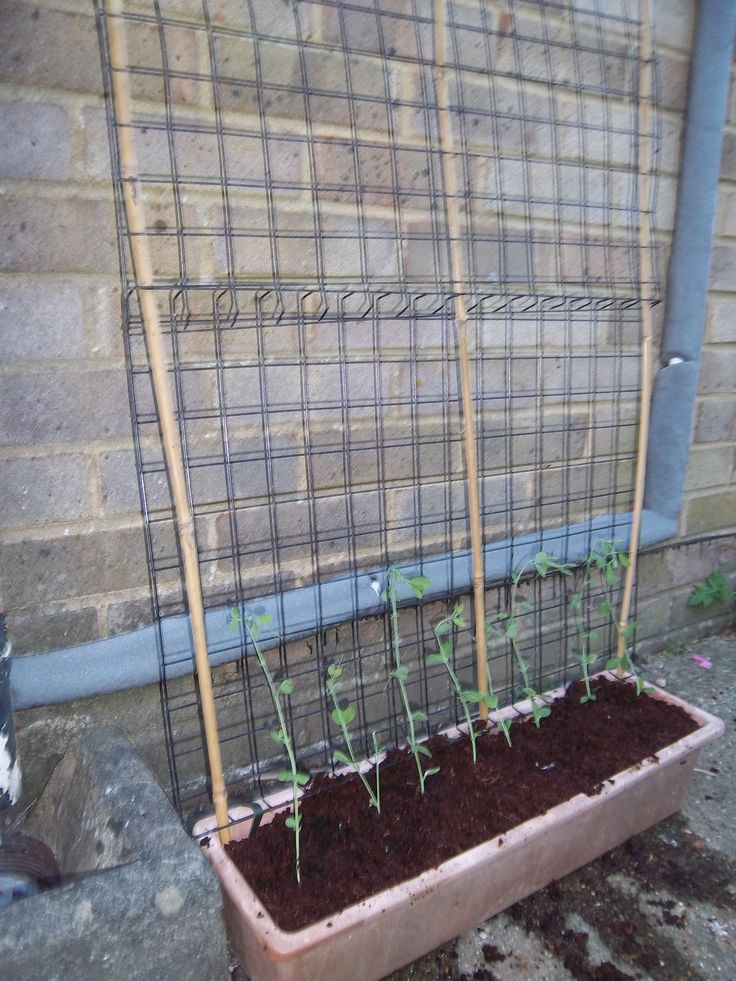 Growing Sweet peas on a home made frame