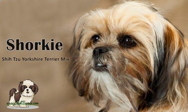 Shorkie The Long Hair Short Dog Best Hypoallergenic Dogs Yorkie Terrier Designer Dogs Breeds
