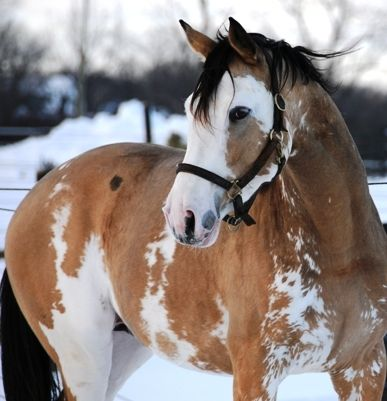"""Pinto: Dominant White.  While it might sound strange to call an obviously buckskin horse """"white,"""" it is because this gene has recently been found to be the cause of not only the White thoroughbreds (true white horses: blindingly white hair, pink skin, and dark eyes), but also the sabino-type markings in TB's.  This is Simba Twist, TB"""