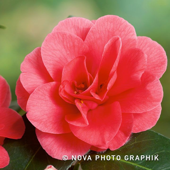 Camellia Mary Williams Camellia Flowers Species