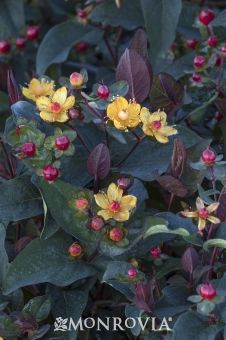 Monrovia's FloralBerry™ Sangria St. John's Wort details and information. Learn more about Monrovia plants and best practices for best possible plant performance.