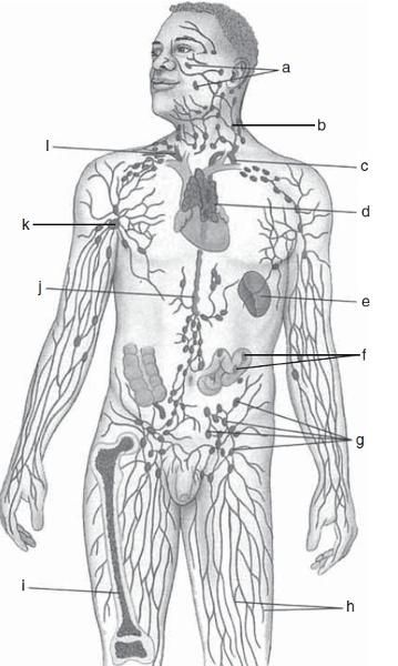 A. TONSILS B. CERVICAL LYMPH NODES C. THORACIC DUCT D. THYMUS E. SPLEEN F. PEYER'S PATCHES (IN INTESTINE) G. INGUINAL LYMPH NODES H. LYMPHATIC VESSELS I. BONE MARROW J. CISTERNA CHYLI K. AXILLARY LYMPH NODES L. RIGHT LYMPHATIC DUCT