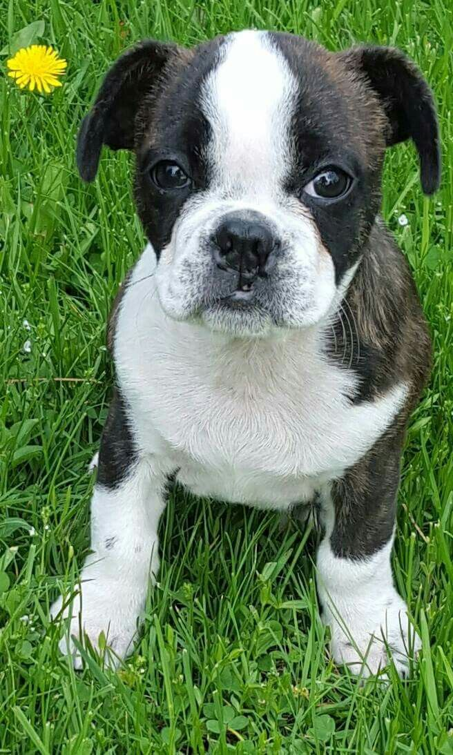 Pin by Kathy Ann on Puppies ♥ Puppies, Boston terrier