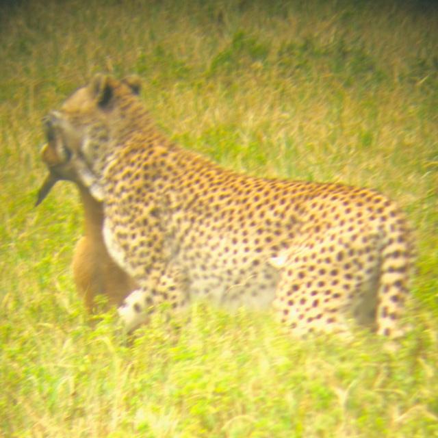 Watching a cheetah hunt in Tanzania!