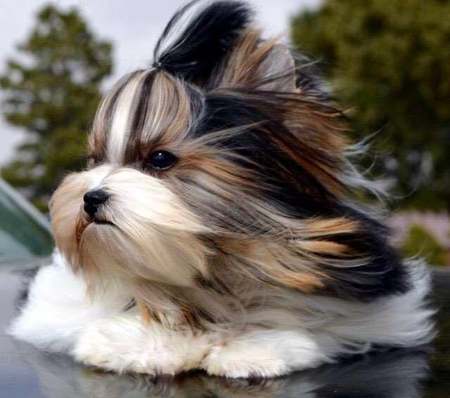 Biewer Yorkshire Terrier Ala Pom Pon Welpen 1 550 2602